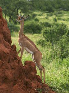 Samburu, an african antilope